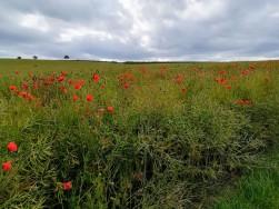 Roter Mohn blüht auf fast jedem Feld.